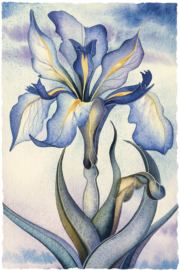 Dutch Iris - Prints