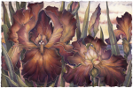 I Only Have Iris For You Large Prints (Click for options & image enlargement)